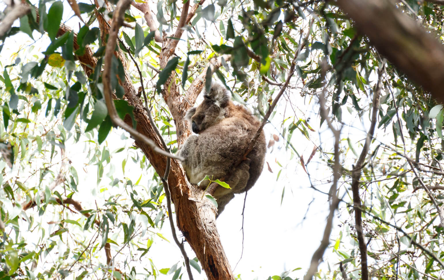 A koala on French Island