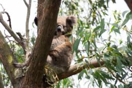 A koala on French Island